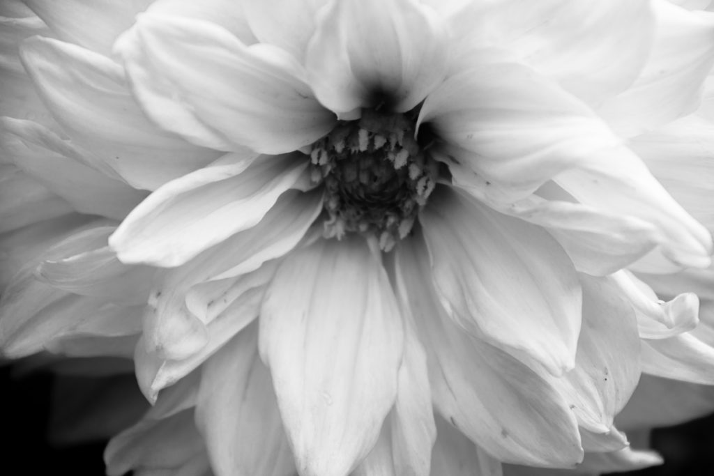 black and white close up of flower